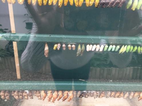 Casulos na exposição de borboletas.
